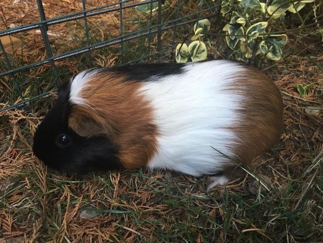 2 female Guinea pigs £15 pair