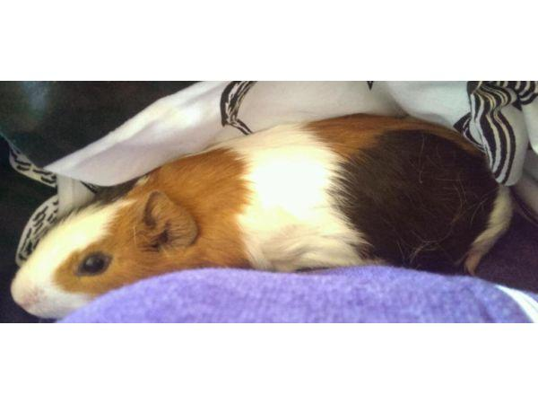 2 male Guinea pigs need a new home