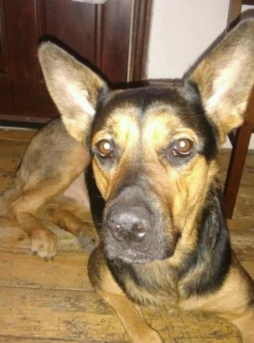 3 year old German Shepherd x Rottweiler X Japanese