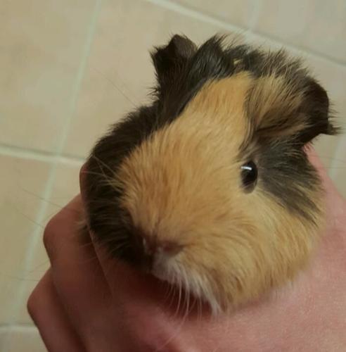 8 week old boy guinea pig