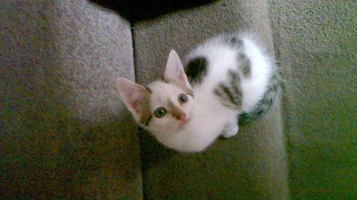 Adorable male Bengal x kitten