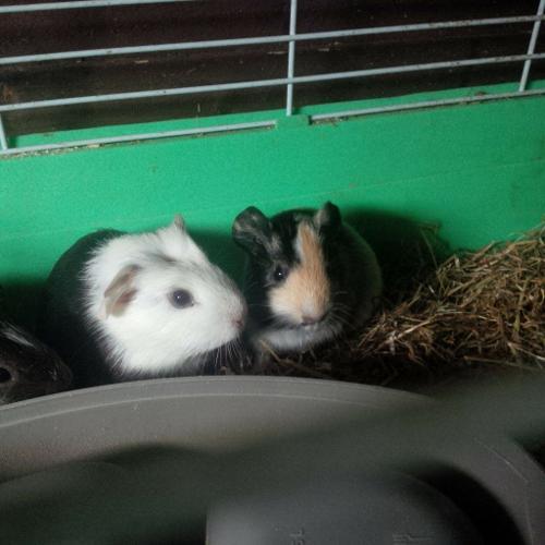 babies guinea pigs