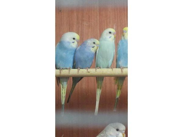 Baby budgies for Sale in Airdrie, North Lanarkshire Classified