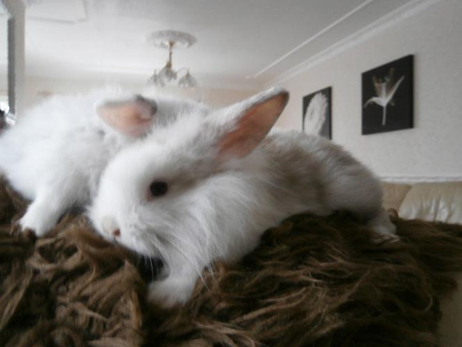 Baby lion-head rabbits