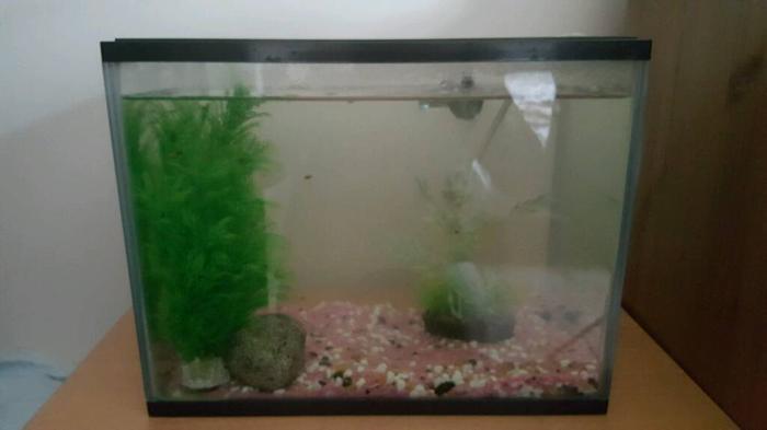 Baby platys and fish tank