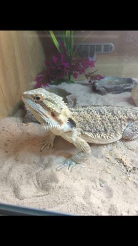 Bearded dragon and vivarium genuine reason for sale