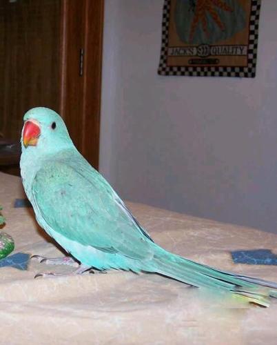 Blue indian ringneck parrots