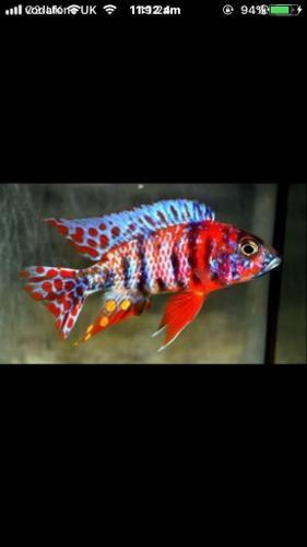 colourful Malawi fish