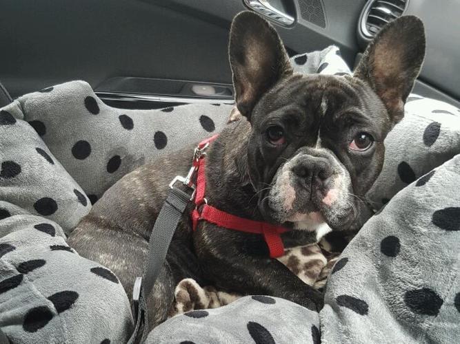 Female french bulldog