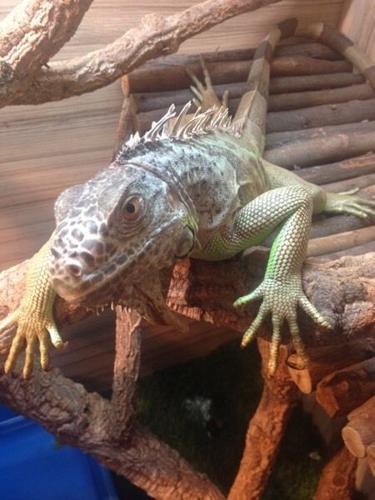 Female green iguana for sale