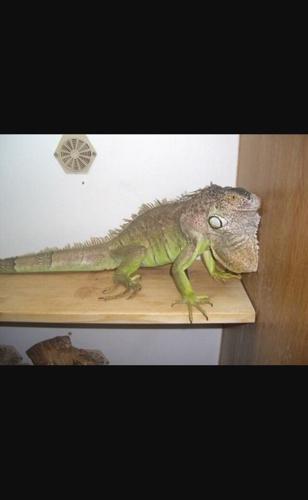 Iguana free to good home