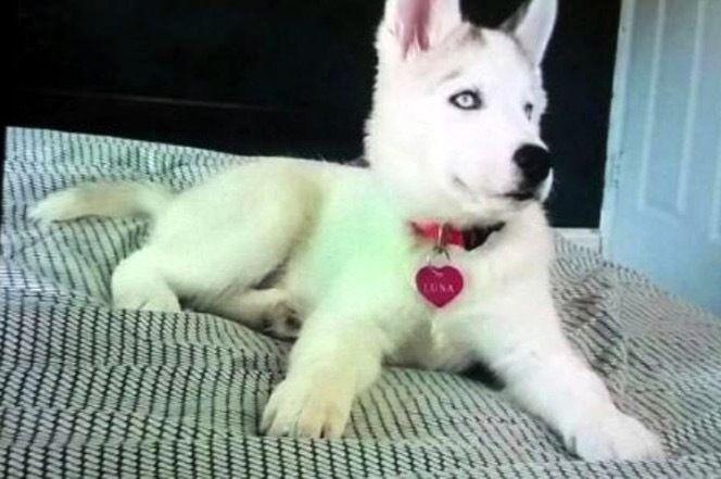 Luna - Husky Puppy 7 months.
