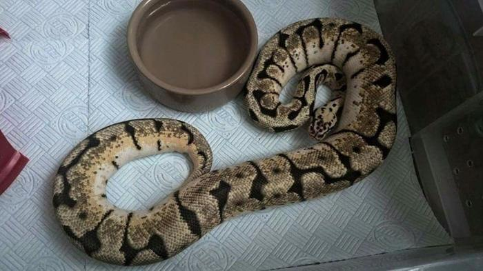 Male bumblebee royal(ball) python CB12 1000G