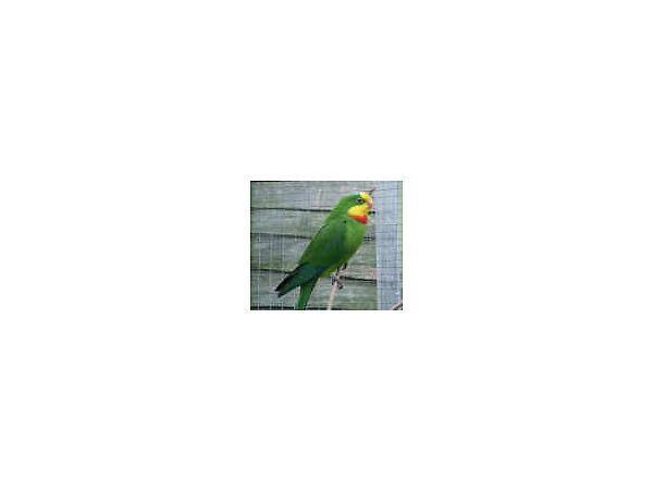 pair of barraband parrots