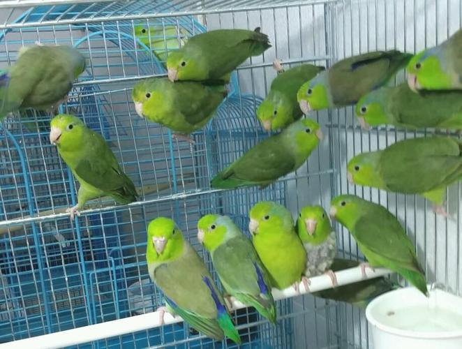 Parrotlets world smallest parrots