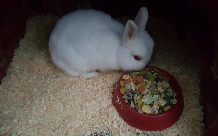 Rabbits x2 Netherlands dwarf female