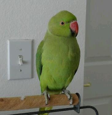 Talking Green indian ringneck parrots
