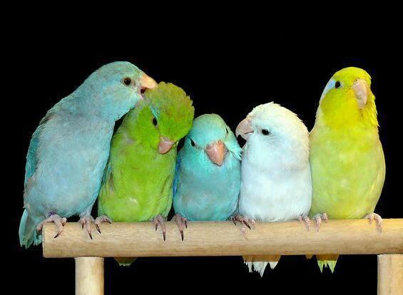 Tiny Talking baby parrotlets world smallest parrots