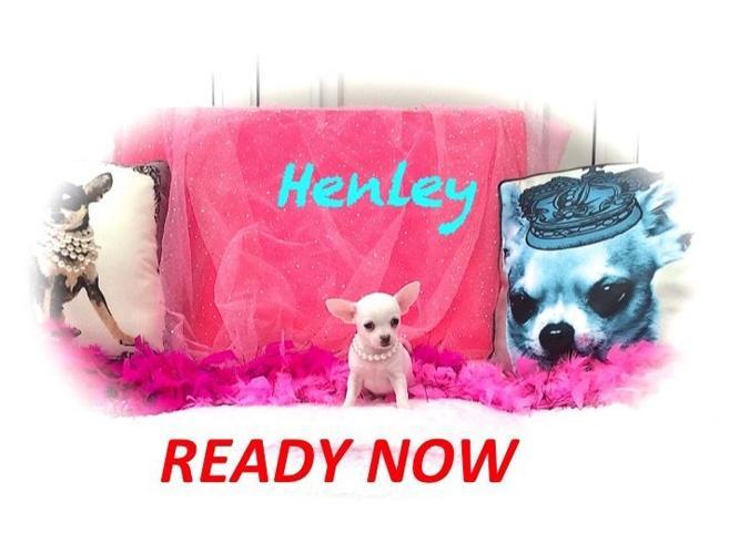 TINY WHITE CHIHUAHUA BOY .. HENLEY XX SMALL