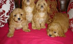 WE HAVE LOVELY CAVALIER KING CHARLES CROSS PGreatbritainlistedS ( cavapoo puppies ) READY NOW IN BLACK OR APRICOTS, FROM £300 TO £750 DEPENDING ON AGE AND COLOUR. WE ONLY SELL TO PET HOMES NO PET SHOPS OR DEALERS NEED APPLY. AND NO ALL DAY WORKERS. WE DO