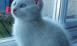 10 week old male white kitten. Wormed and flea treated.