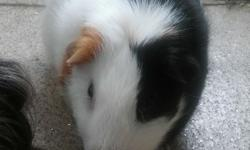 2 guinea pigs about 1 year and a half old a netured