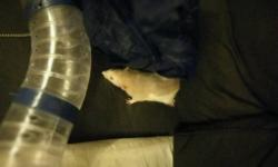 2 male dumbo rats free to a good home as i am unable to