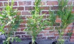 3 x Strong , healthy conifer plants. These are Thuja
