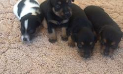 4 rare gorgeous miniature Jack russel puppies for