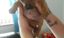8 WEEKS OLD MALE STAFFIE PUP FOR SALE EATTING AND