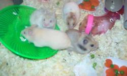 9 Baby Hamsters 8 weeks old ready for there forever