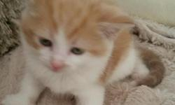 Beautiful adorable kittens fluffy 8 weeks old 2 girls ,