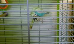 Beautiful baby budgies for sale various colours
