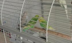 baby budgies. Lovely & Healthy budgies.. Really good
