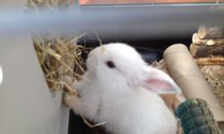 Beautiful baby rabbits for sale. 4 babies hand reared