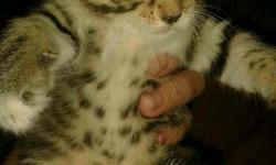 Amazing kittens bengal x maine coon adorable great with