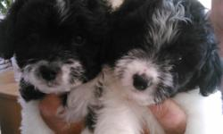 Beautiful bichon frise/jack russel puppies for sale.