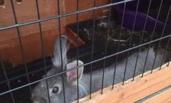 two female bunnies, Bella Bunny is the grey one and