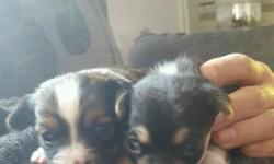 Chihuahua puppies boy and girl come from a loveing home