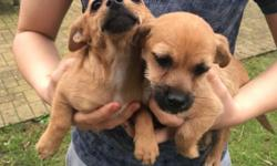 Chorkies for sale, 1x male, 1x female, both wormed and
