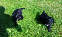 Cockapoo puppies for sale 6 Boys 1 girl all black in