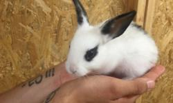 1 left! Cuddly and friendly little male bunny. He's 12