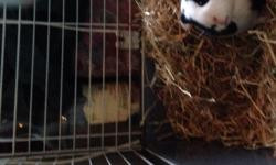 Female guinea pig 5-6months old. Bery sweet and chatty,