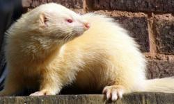 Hi I have a albino female ferret for sale she is 12