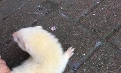 two albino hob and jill ferrets want rid of soon as