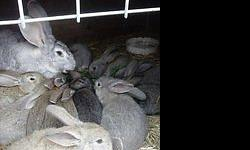 For sale Giant Continental Rabbits. 5 Weeks old . Ready