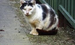 Found in Gowerton White cat with black patches and