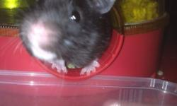 Free to good home - black hamster very tame wit rotor