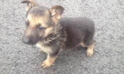 German shepherd puppy for sale she's 9 weeks old Black