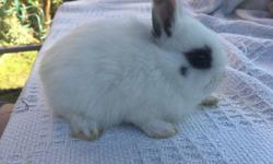Two gorgeous Hotot girls... Very calm, tame and